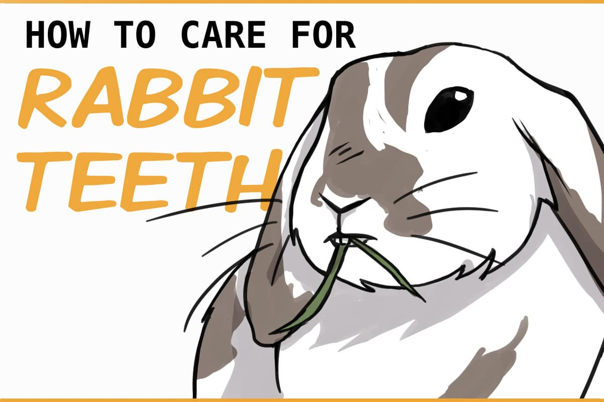 how to care for rabbit teeth