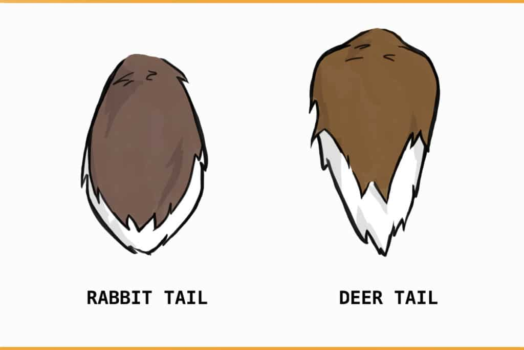 rabbit tail vs. deer tail