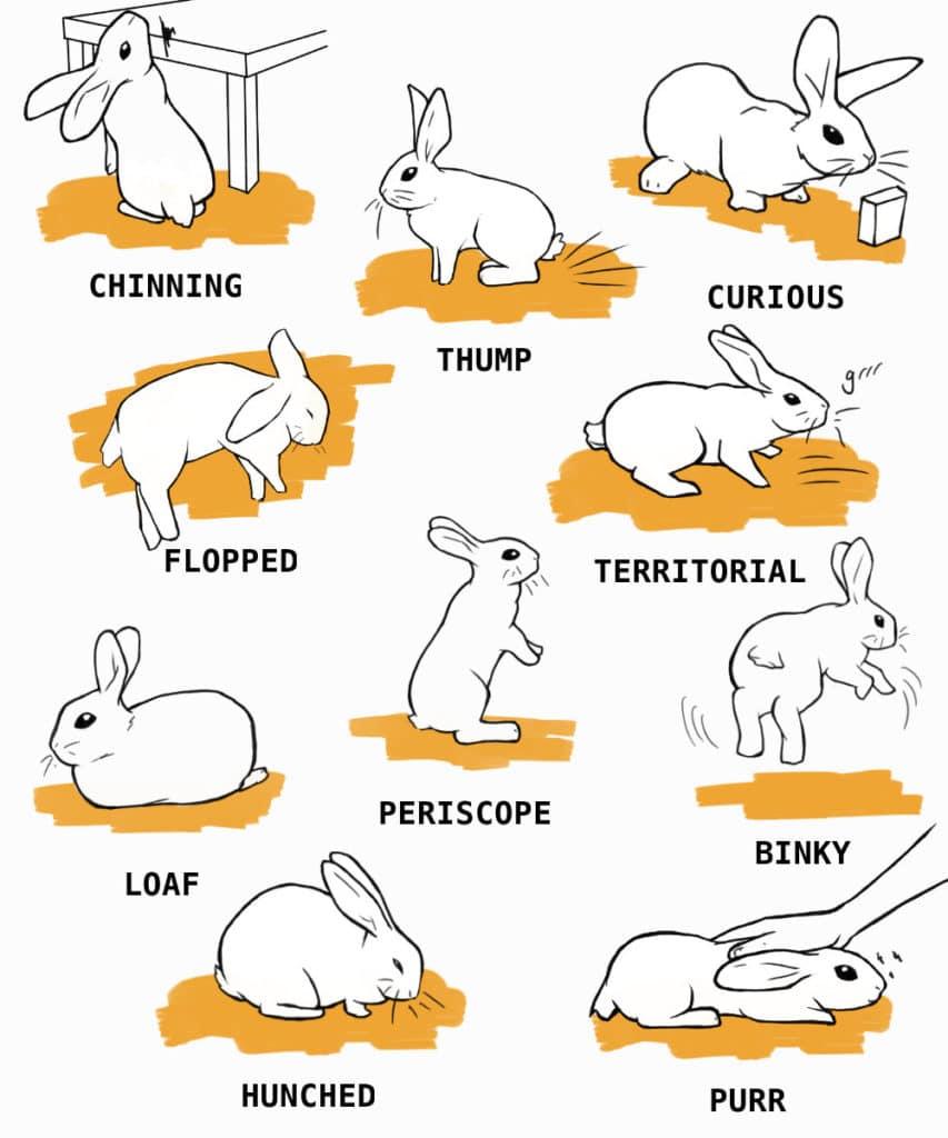common rabbit behaviors