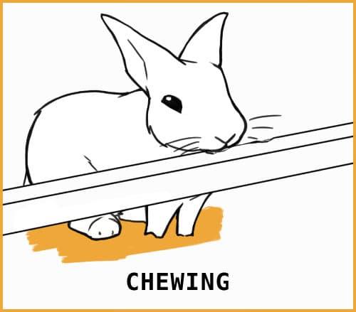 chewing rabbit