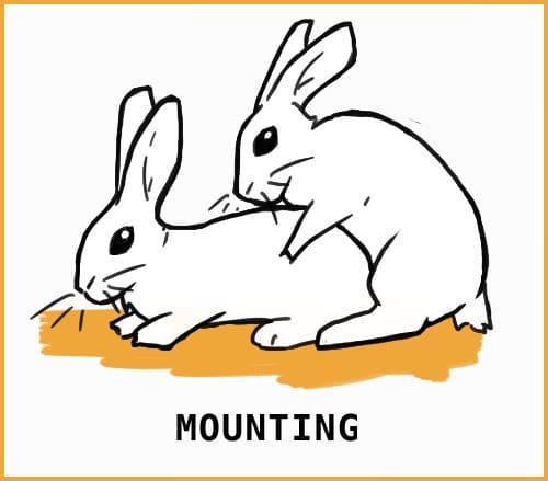 rabbit mounting
