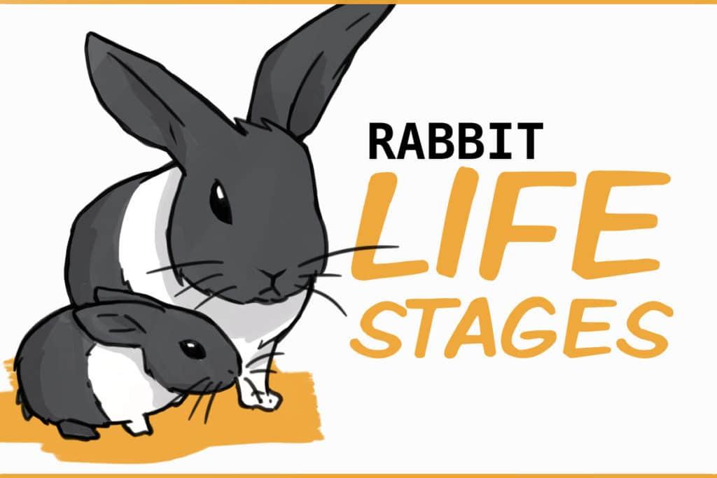 rabbit life stages