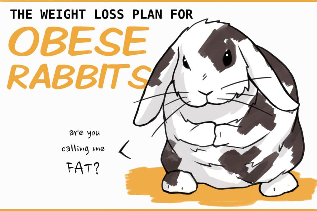 weight loss for a fat, obese rabbit