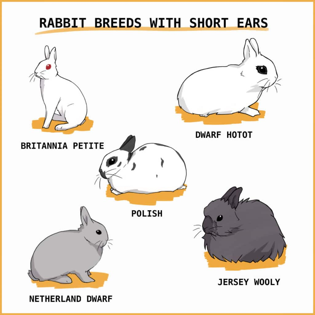 Rabbit breeds with short ears