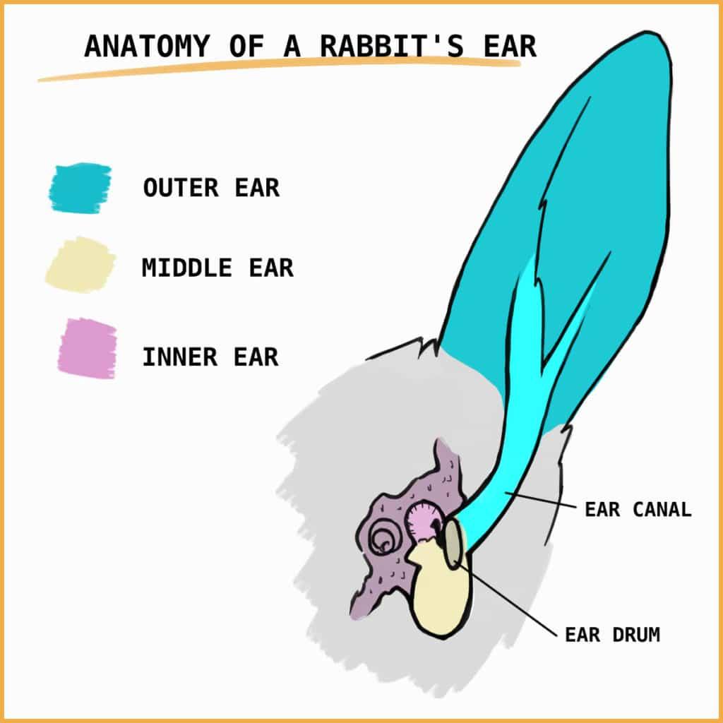 Anatomy of a rabbit's ear
