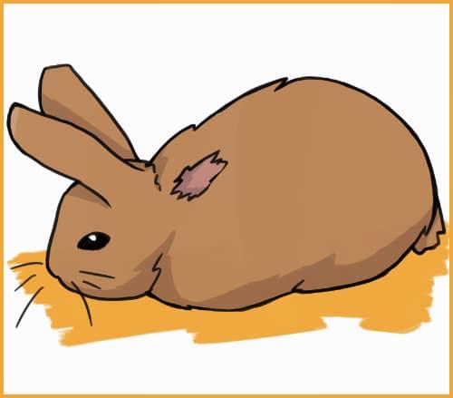rabbit balding