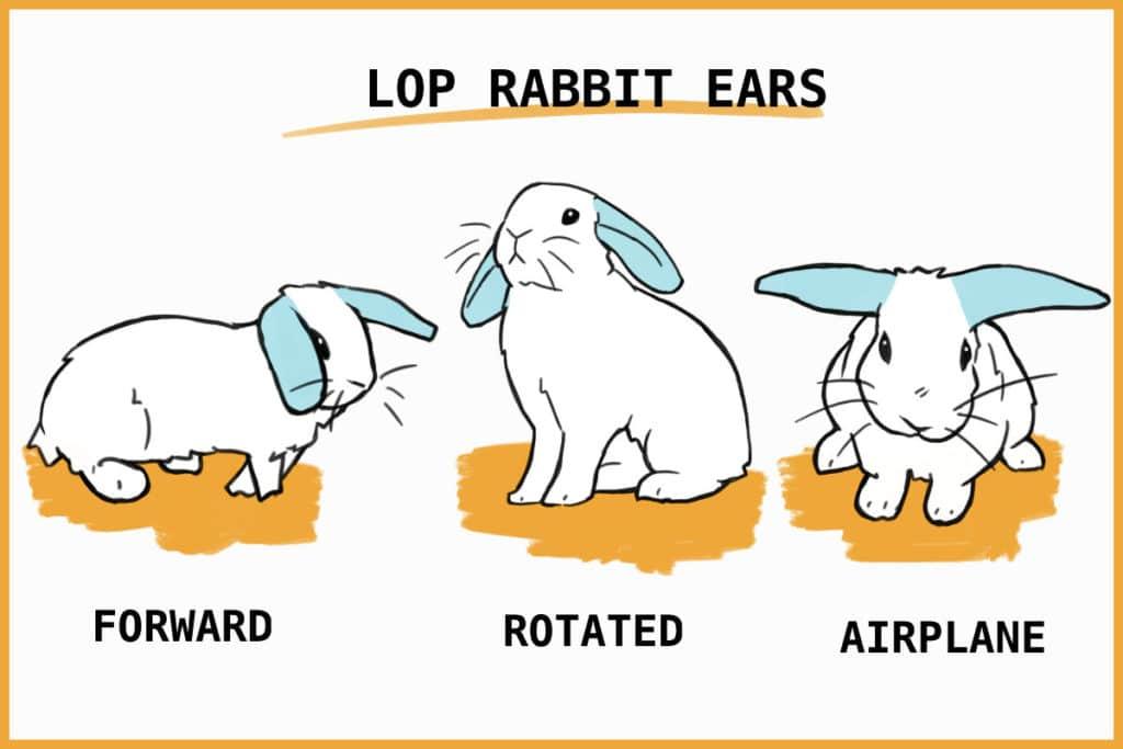 lop rabbit ears