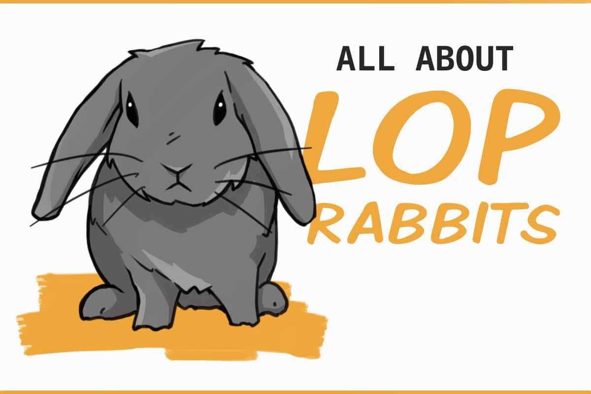 all about lop rabbits