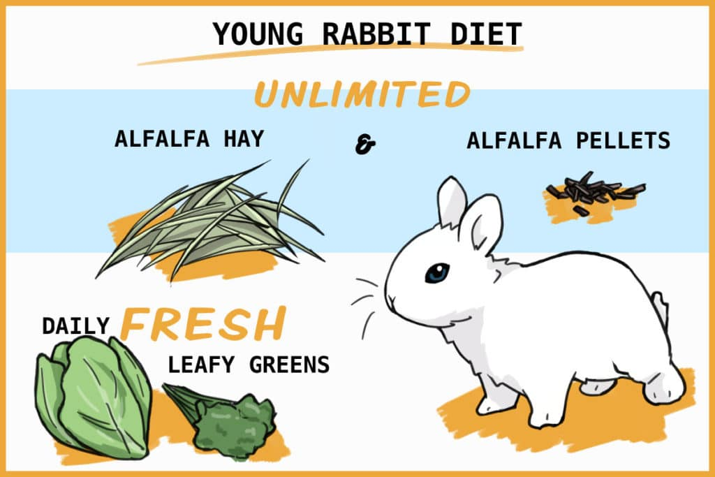 healthy young rabbit diet