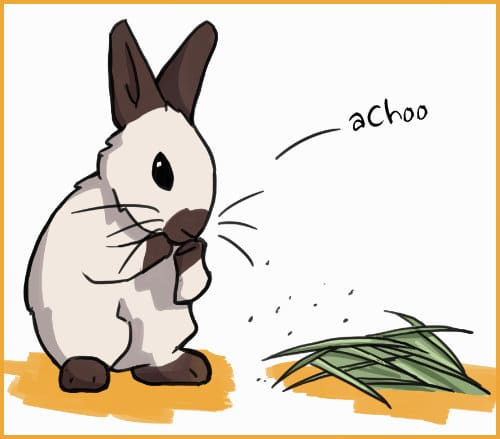 rabbit sneezing at hay dust
