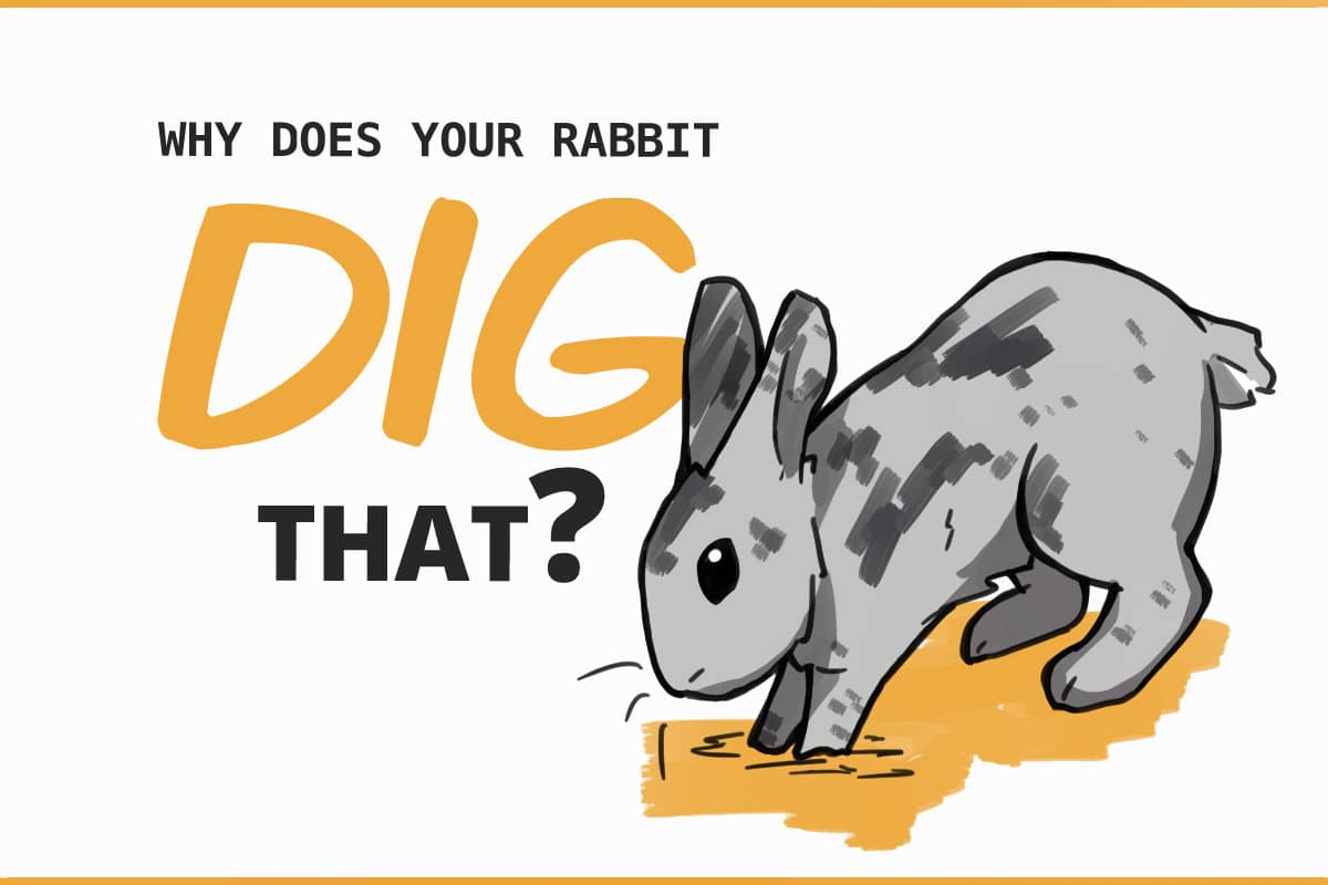 why does your rabbit dig that?