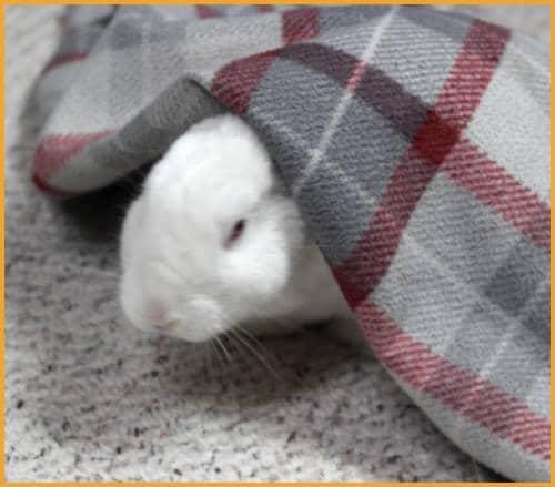 rabbit under a blanket