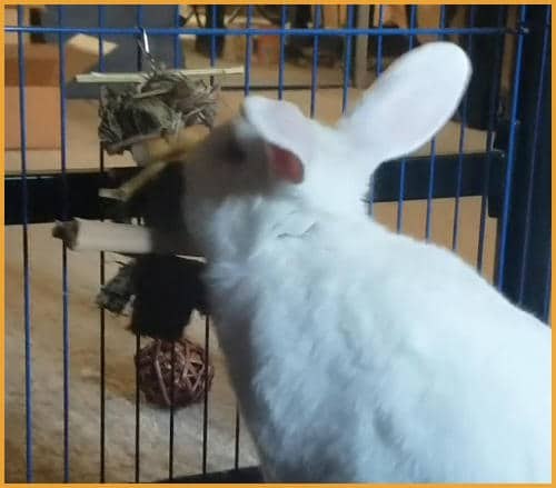 rabbit playing with a hanging toy