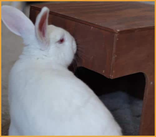 rabbit sniffing a hiding house
