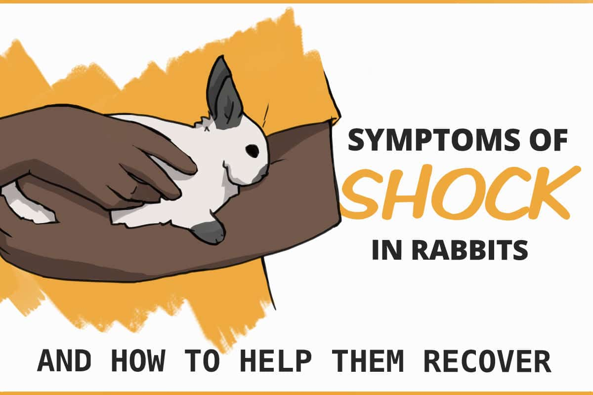 symptoms of shock in rabbits