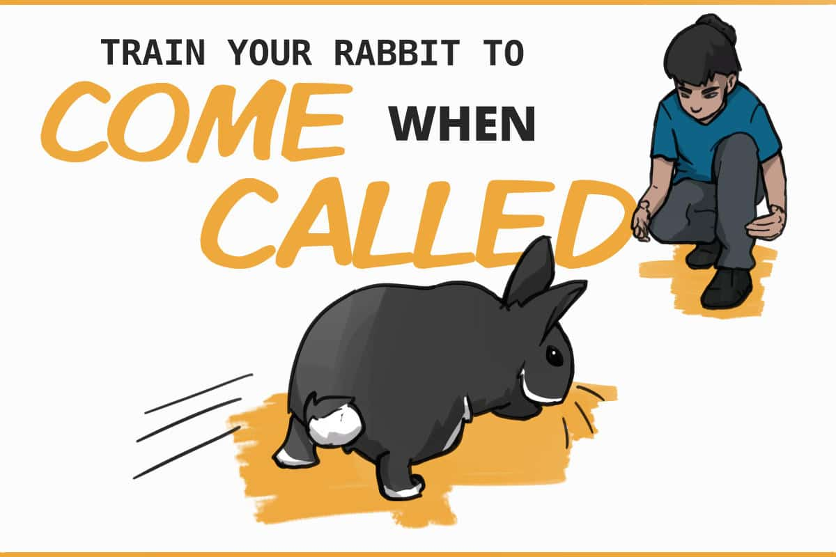 train your rabbit to come when called