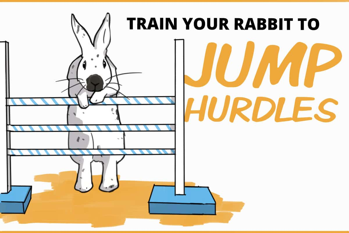 train your rabbit to jump hurdles