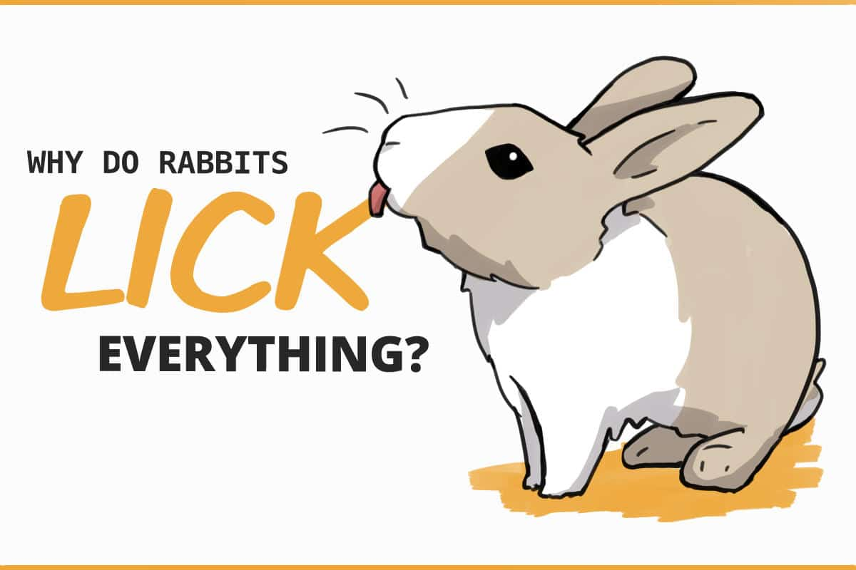 why do rabbits lick everything?