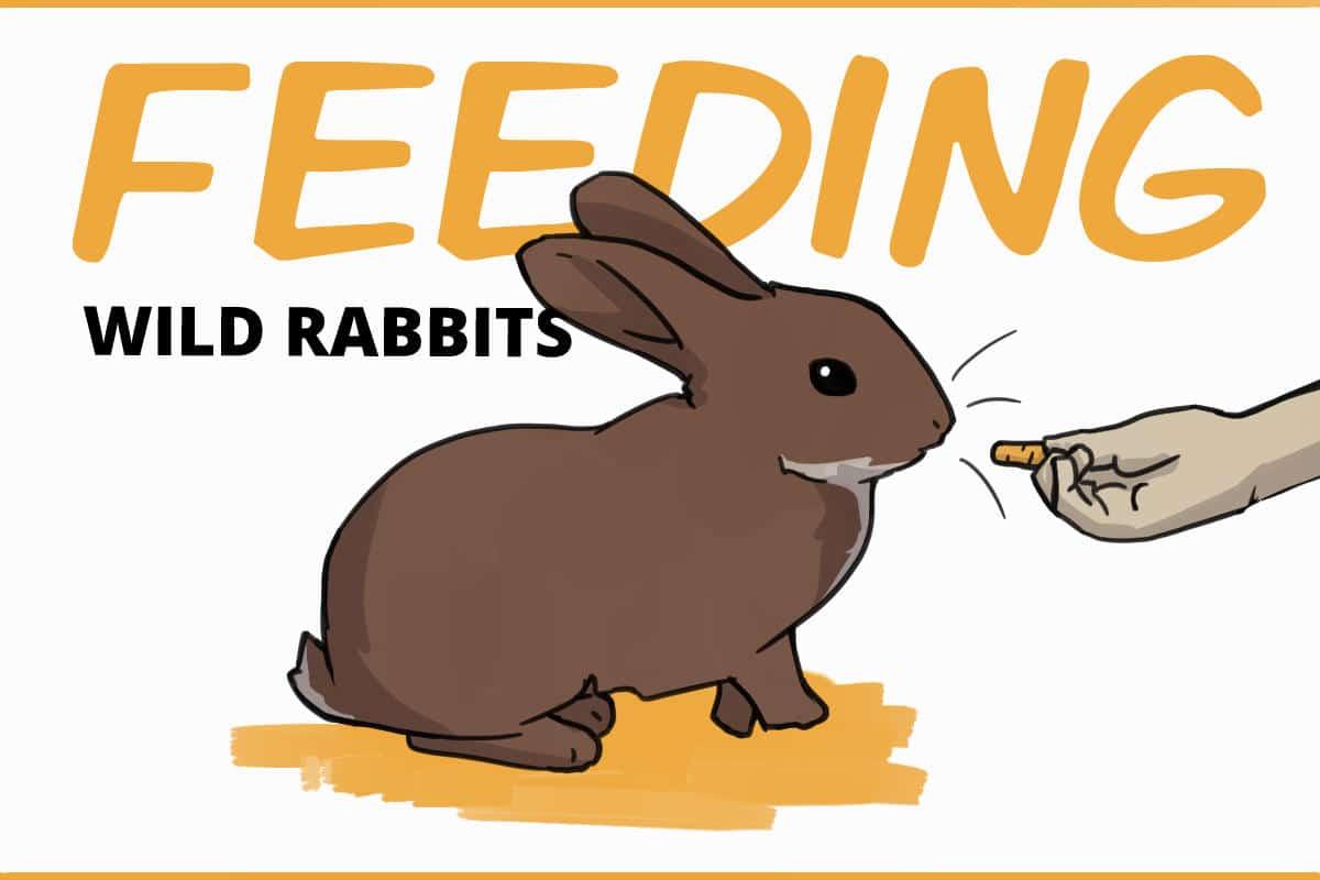 feeding wild rabbits