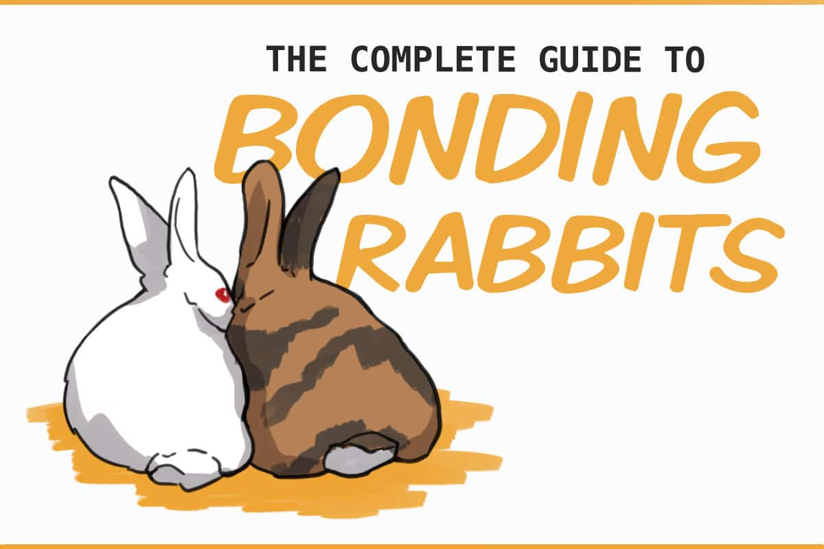the complete guide to bonding rabbits