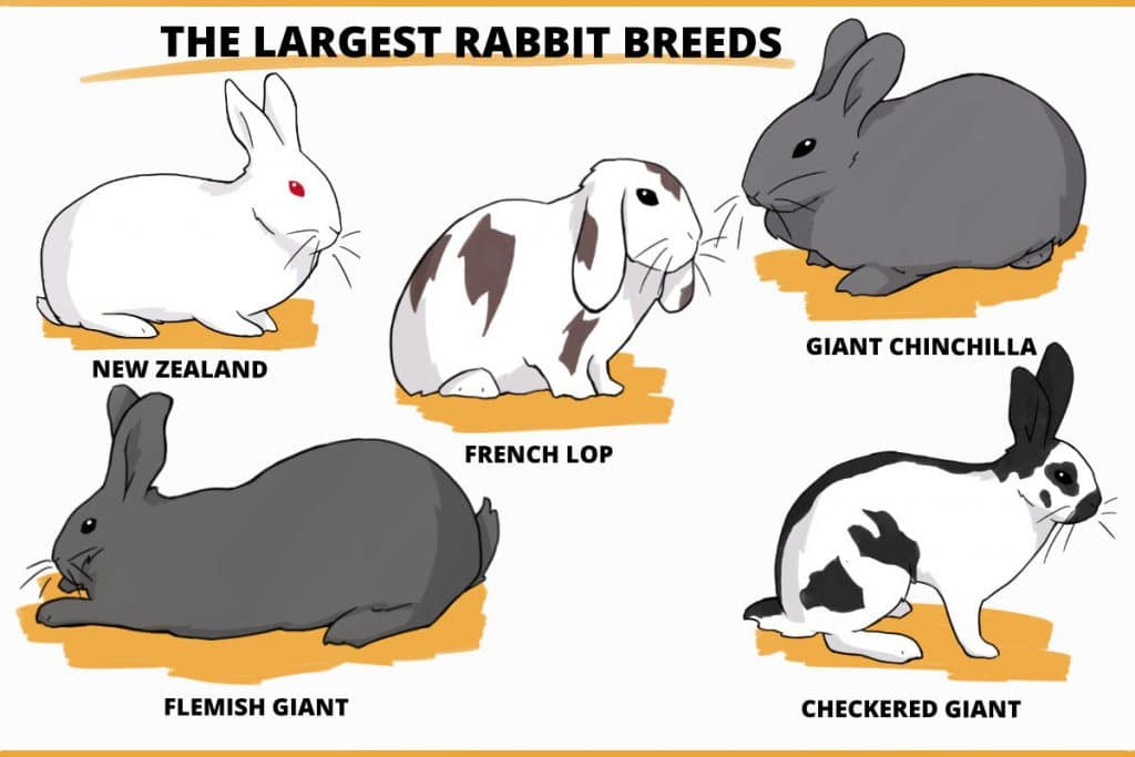 The largest rabbit breeds
