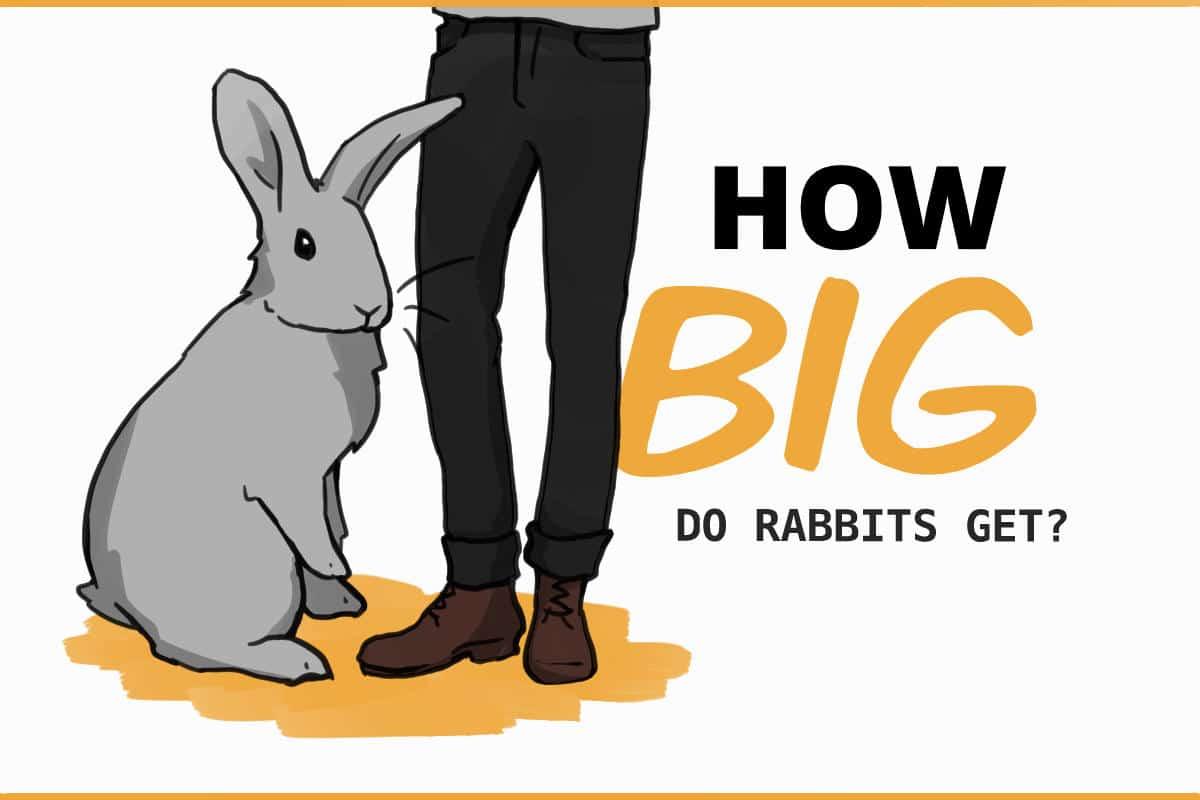 how big do rabbits get?