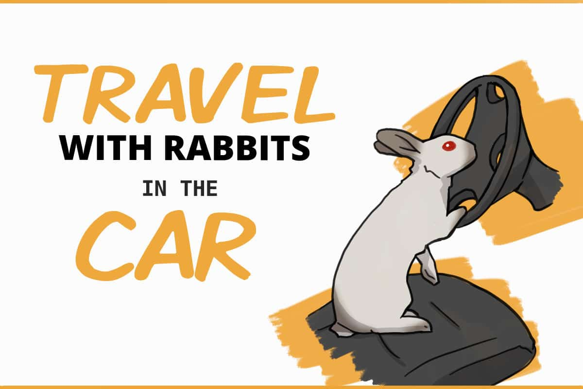 travel with rabbits in the car
