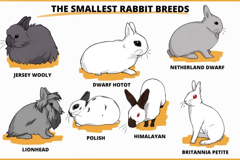 the smallest rabbit breeds