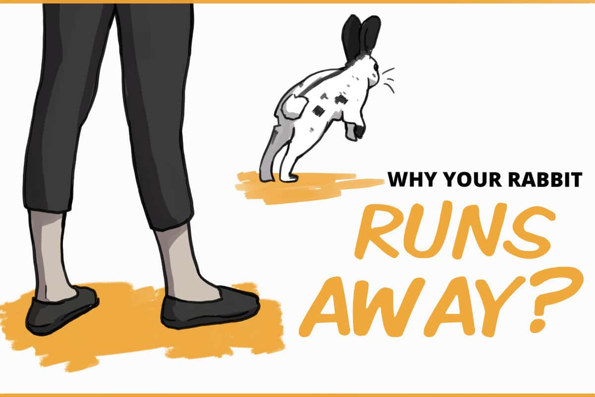 why does your rabbit run away?