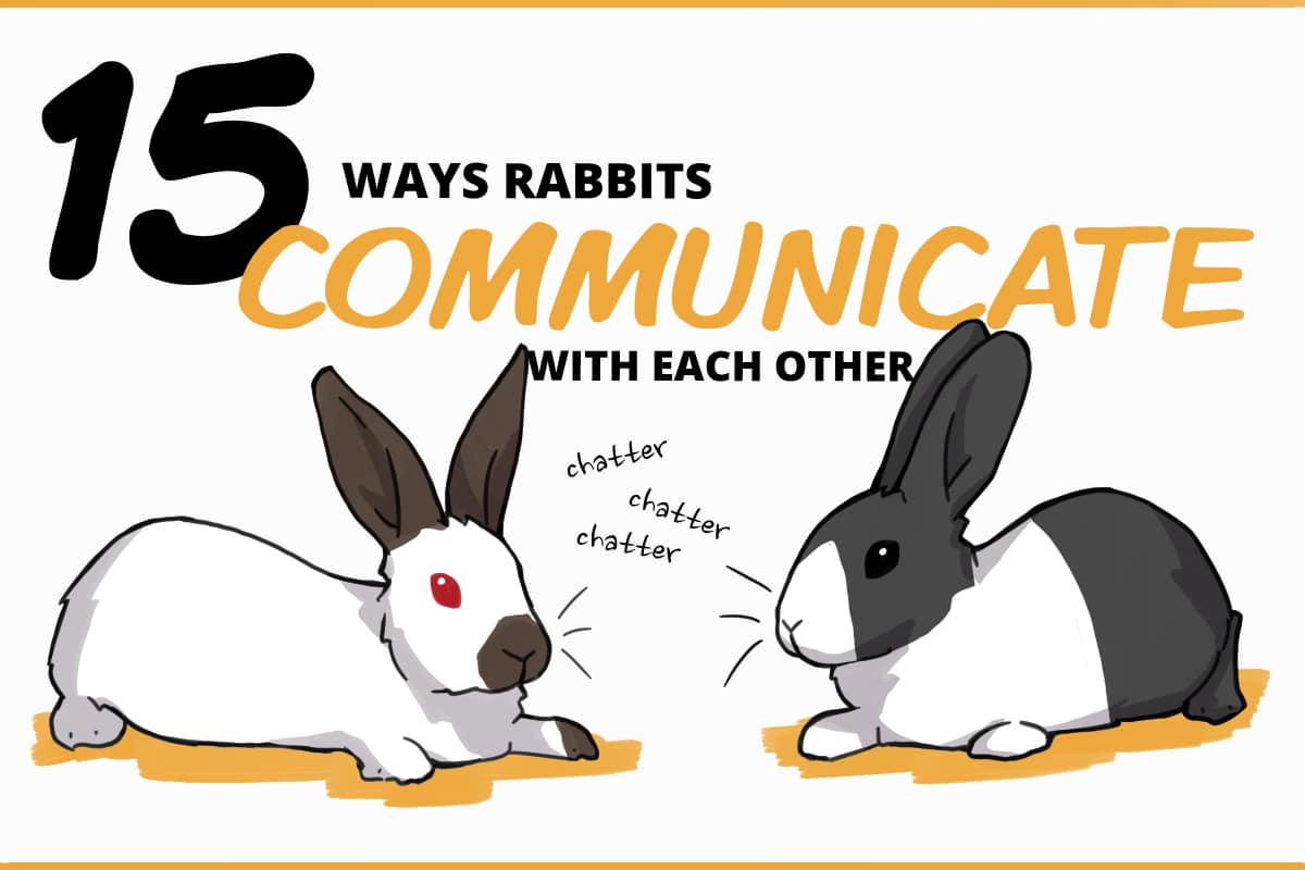 15 ways rabbits communicate with each other