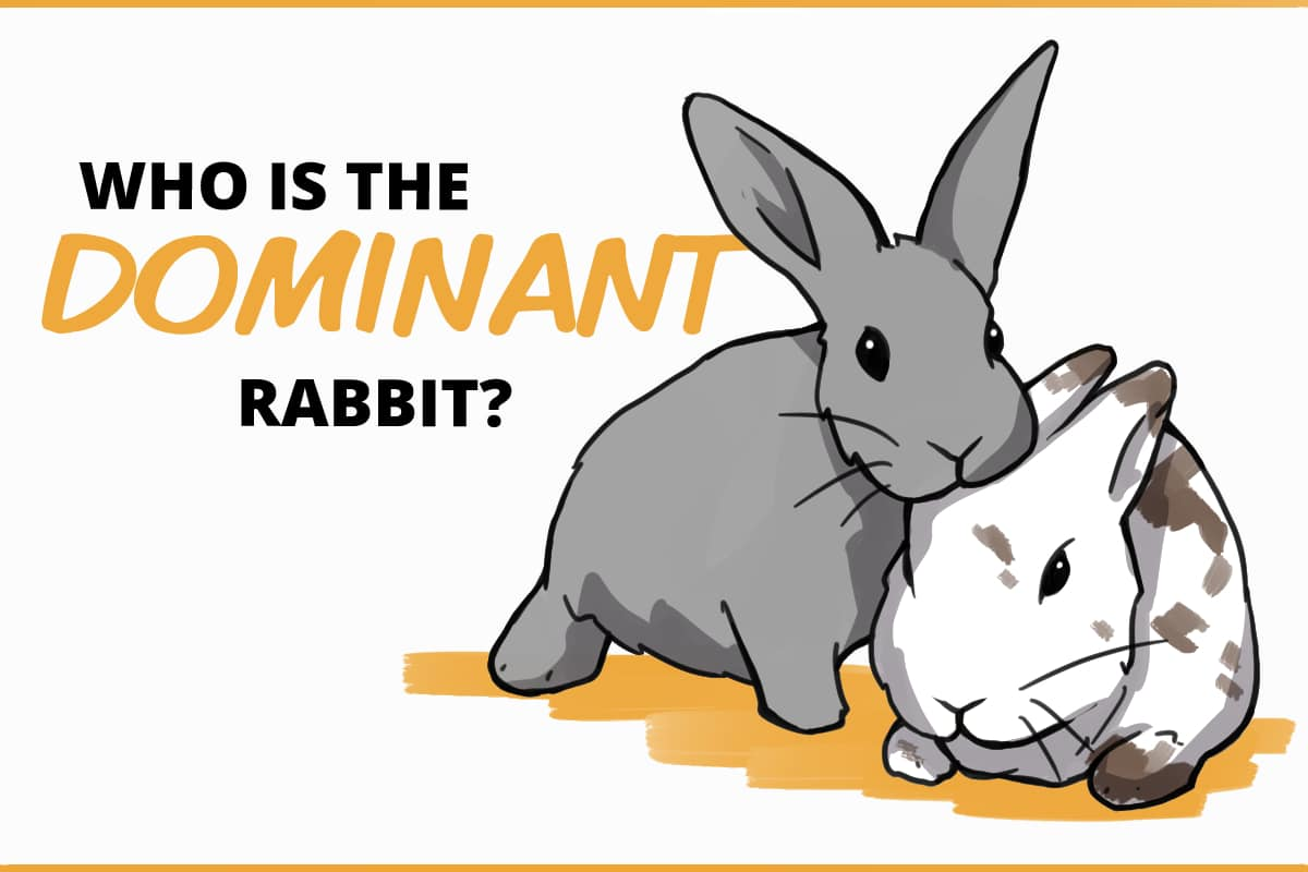 who is the dominant rabbit?