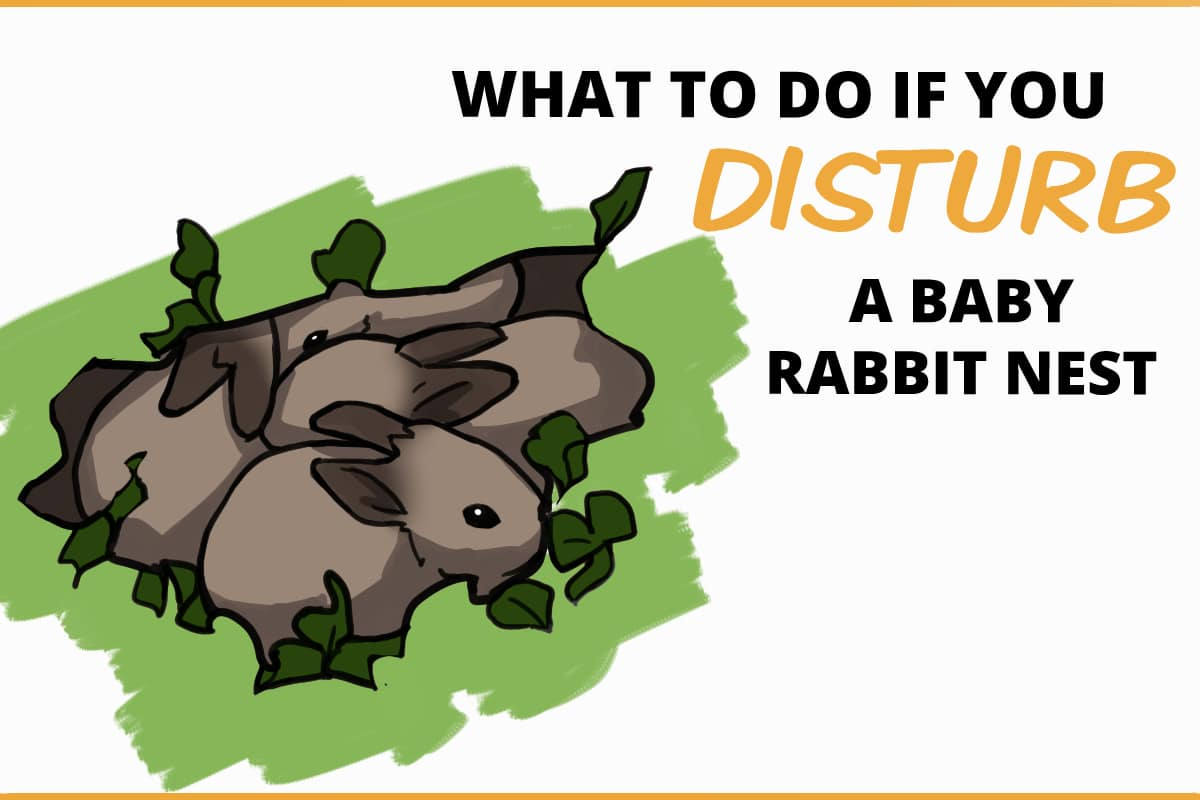 What to do if you disturb a baby rabbit nest
