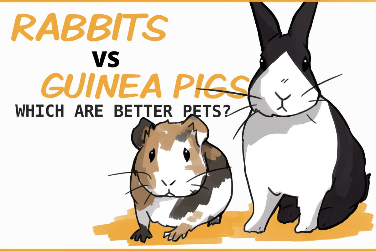 Rabbits vs. Guinea Pigs: which are better pets?